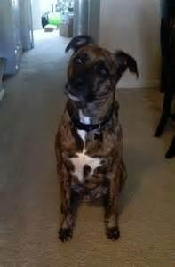 judah greyhoundpitbull mix  loving kid  home