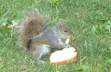 image gallery squirrel bread