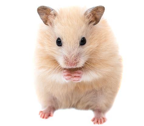 hamster names boy hamster names 150 cool ideas for male hamster names
