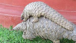 Pangolins in Peril: rallying the world to curb the global ...