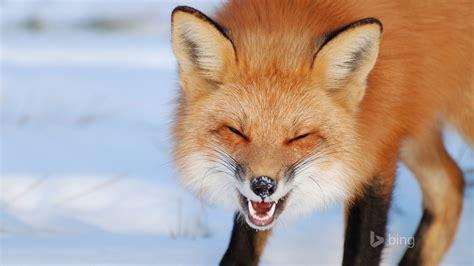 snow red fox bing theme wallpaper preview wallpapercom
