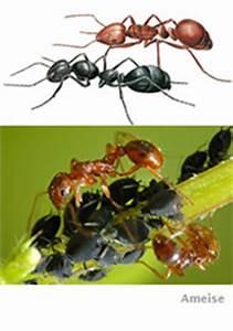 Ameisenplage Im Garten Bekämpfen : ameisen bek mpfen das hilft den pflanzen weiter ~ Articles-book.com Haus und Dekorationen