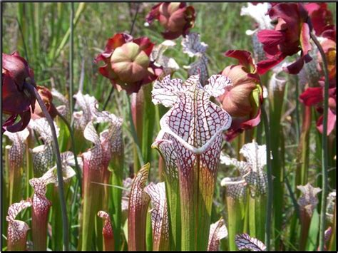 39 s parade pitcher 130 best images about carnivorous plants on