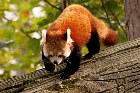 Animal Fur Wallpaper - wallpaper panda animal nature branch green fur