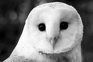 Cute Snowy Owl | www.imgkid.com - The Image Kid Has It!