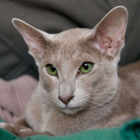 14 Best Pictures Of Oriental Shorthair Cats And Kittens