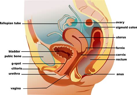 Reproductive System Imges Without Parts Female Female And