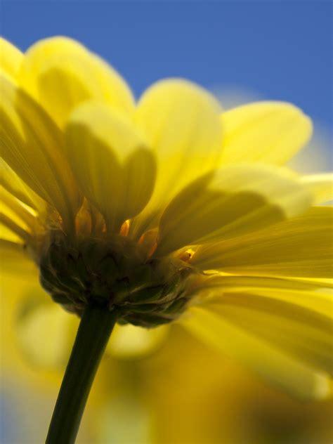 wallpaper yellow flower macro hd flowers