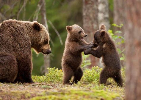 Forest Animals Live Wallpaper - nature animals bears forest trees baby