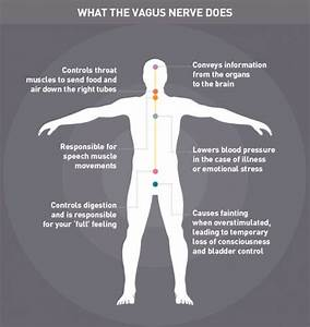 Wiring And Diagram  Diagram Of Vagus Nerve In Body