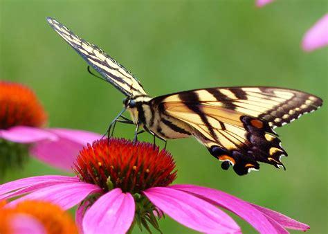 tiger swallowtail  purple coneflower birds  blooms