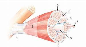 Lab 17  Skeletal Muscle Structure