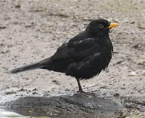 Heimische Singvögel Bilder : einheimische singv gel die amsel ein gut zu fotografierender vogel ~ Whattoseeinmadrid.com Haus und Dekorationen