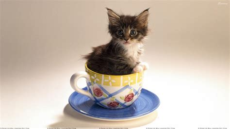 tea cup cats cat is sitting in a cup of tea wallpaper