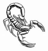 Scorpion Drawing Clipart Easy Draw Pencil Outline Sketch Tribal Drawings Realistic Scorpions Coloring Clip Pages Cliparts Drawn Designs Animals Getdrawings sketch template