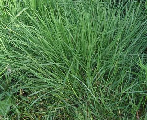 common grass types ornamental grasses quiz identification and recognition