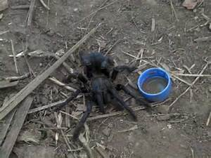 Man Eating SPIDER - YouTube