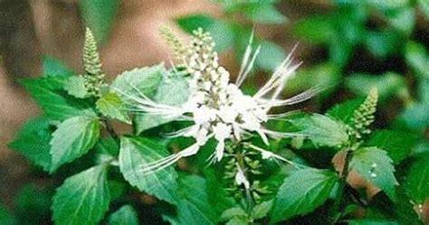 manfaat tanaman kumis kucing keajaiban tanaman tradisional