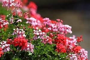 Wann Geranien Pflanzen : geranien wann ist bl tezeit ~ Lizthompson.info Haus und Dekorationen