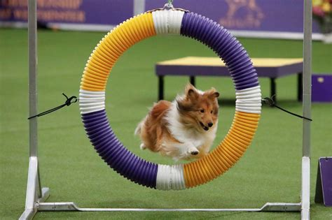thousands  dogs vie    show   yorks