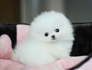 153 best images about My lovely spitz on Pinterest ...
