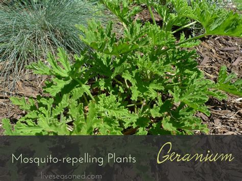 do citronella plants really repel mosquitoes mosquito repelling plants