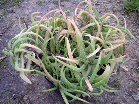 aloe varieties pictures aloe ankoberensis varieties of aloe pinterest