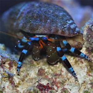 Electric Blue Knuckle Hermit Crab Barrier Reef Aquariums