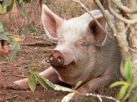 Animali Da Cortile Definizione by Maiali Vendita Maiali