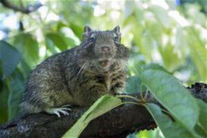 Comment Se Debarrasser Des Rats : comment se d barrasser des rats dans une curie article ~ Melissatoandfro.com Idées de Décoration