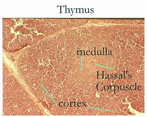 thymus gland histology labeled | Histology: Thymus ...