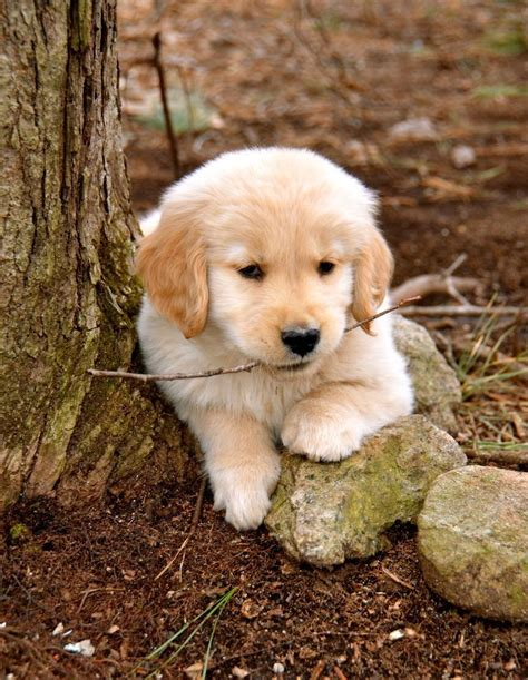 10 Ideas About Golden Retriever Puppies On Pinterest