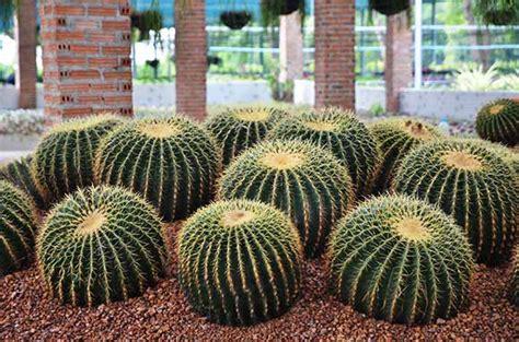 ต้นกระบองเพชร - ไม้มงคล 20 ชนิด