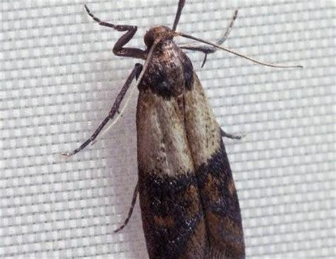 how to get rid of moths s secret