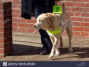 Guide Dog For The Blind  Uk Stock Photo  6984754