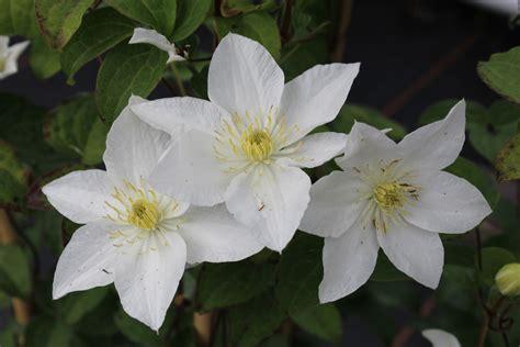 Clematis Große Blüten by Clematis Waldrebe Destiny Lubera De