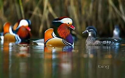 Bing Daily Wallpapers Forest England Mandarin Ducks