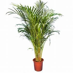 Areca 140150cm Plantes Et Jardins