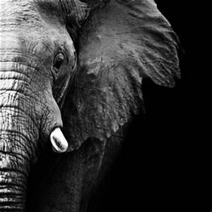 Schwarz Weiß Bilder Tiere : beeindruckende motive afrikanische tierbilder bei myposter ~ Markanthonyermac.com Haus und Dekorationen