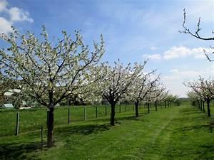 Taille De Cerisier : planter des cerisiers sans vers ma passion du verger ~ Melissatoandfro.com Idées de Décoration