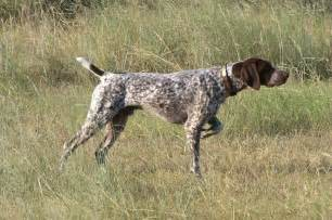 german shorthaired pointer breed information puppies pictures