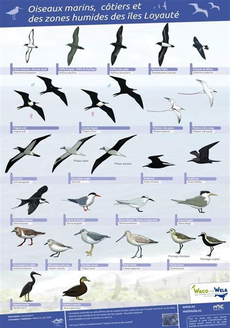 resto bureau mlml affiche oiseaux marins et oiseaux terrestres îles