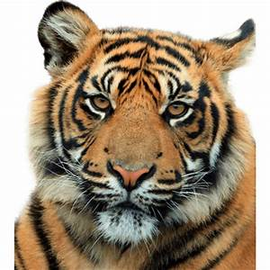 Tiger Head Close Up transparent PNG - StickPNG