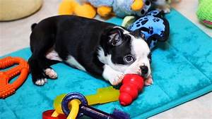 Puppy Playtime - Boston Terrier Puppies - YouTube