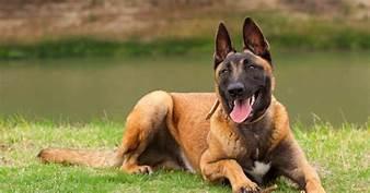 cách huấn luyện chó malinois