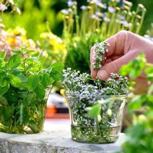Kräuter Im Garten : minze pflanzen anbau pflege der pfefferminze ~ Frokenaadalensverden.com Haus und Dekorationen