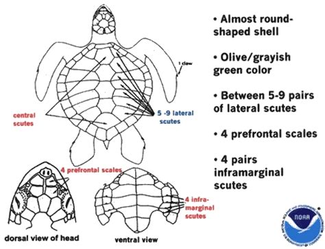 what part of a green do you use galveston nmfs sea turtles noaa fisheries
