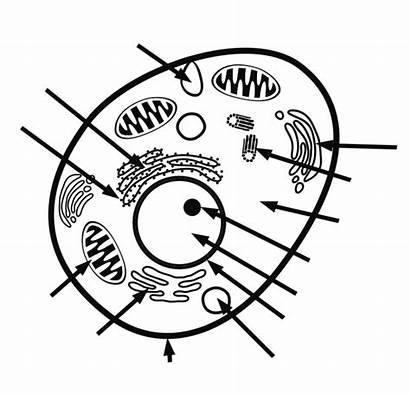 Cell Animal Label Key Answer Printable