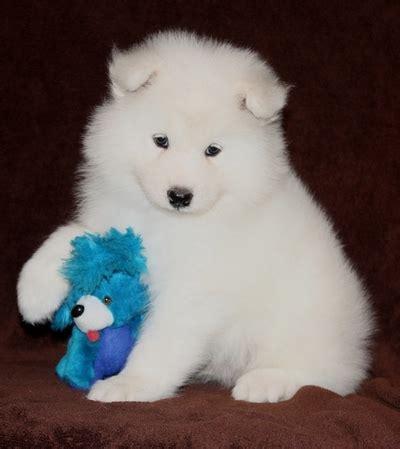 pure white samoyed puppies  sale  sale