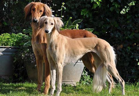 10 Pasaules dārgākās suņu šķirnes - Spoki